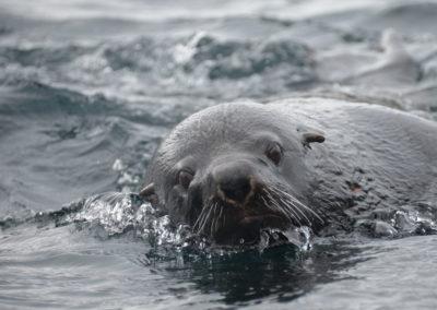 FUR-SEAL